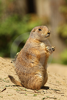 Cute Prairie Dog Standing Upright Stock Photos - Image: 14233863