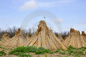Dry Reed For Sale Royalty Free Stock Photos - Image: 14236258