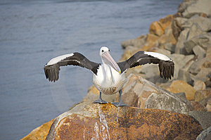 Pelican Drying It's Wings Stock Photography - Image: 14239402