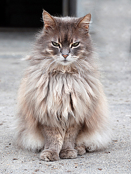Gray Cat Royalty Free Stock Image - Image: 14240656