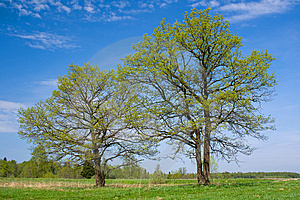 Two Oaks On The Spring Sunny Meadow. Royalty Free Stock Images - Image: 14242009