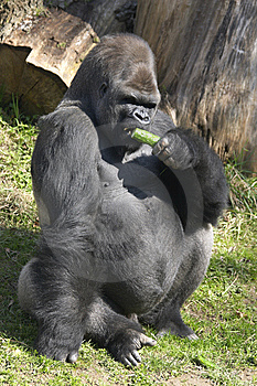 Big Gorilla Eating A Cucumber Stock Photo - Image: 14243060