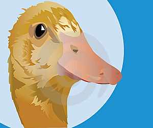 Duck Royalty Free Stock Images - Image: 14245159