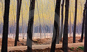 Poplar Woods Stock Image - Image: 14246791