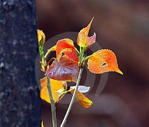 New Poplar Leaf Stock Images - Image: 14247554