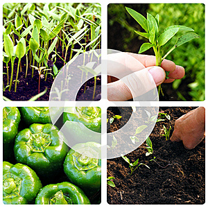 Process Of Growing Vegetables Royalty Free Stock Photography - Image: 14251507