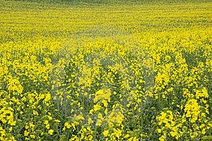 Yellow Rape Field Royalty Free Stock Images - Image: 14253789