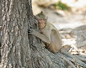 Long-tailed Macaque Stock Photography - Image: 14257452
