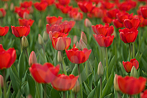 Red Tulips Royalty Free Stock Images - Image: 14265559