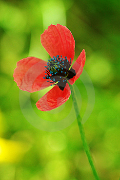 Young Poppy Royalty Free Stock Photos - Image: 14266058