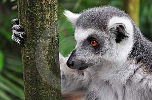 Lemur Staring While Holding Tree Trunk Stock Images - Image: 14266124