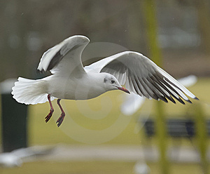 Black-headed Gull Royalty Free Stock Photos - Image: 14269028