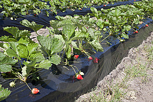 Strawberry Production Royalty Free Stock Photos - Image: 14269768