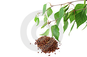 Green Birch Branches And Dried Birch Buds Royalty Free Stock Photography - Image: 14269997