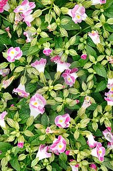Teste Padrão Compor Pela Flor Da Glória De Manhã Imagens de Stock - Imagem: 14271014