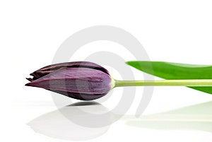 Black Tulip Stock Image - Image: 14275501