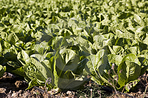 Field Of Lettuce Royalty Free Stock Image - Image: 14281026