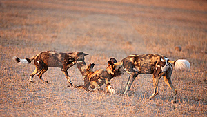 Three African Wild Dogs (Lycaon Pictus) Royalty Free Stock Photos - Image: 14282748