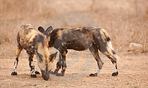 Couple Of African Wild Dogs (Lycaon Pictus) Royalty Free Stock Image - Image: 14282826
