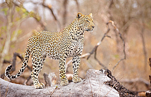 Leopard Standing On The Tree Royalty Free Stock Photography - Image: 14282837
