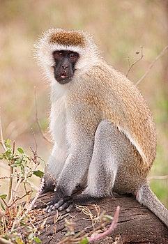 Black-faced Vervet Monkey Royalty Free Stock Image - Image: 14282866