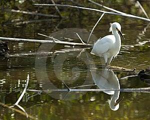 Snowy Egret Stock Image - Image: 14283321