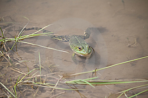 Green Frog Royalty Free Stock Images - Image: 14286189