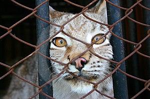 Lynx Royalty Free Stock Photo - Image: 14286315