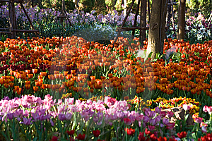 Tulip Farm Royalty Free Stock Photos - Image: 14287248