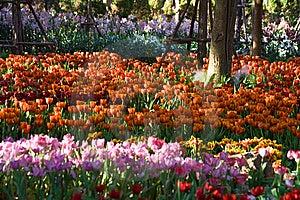 Tulip Farm Royalty Free Stock Photos - Image: 14287248