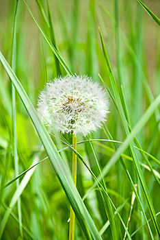 Single Dandelion In Grass Royalty Free Stock Image - Image: 14287756