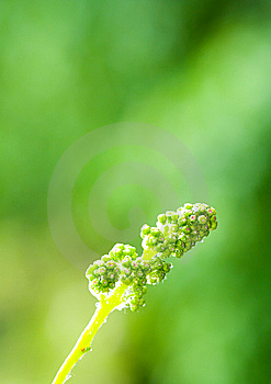 Burgeon Of Grape Stock Photo - Image: 14289240