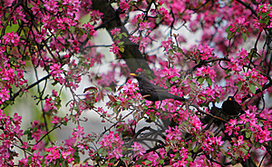 Blackbird Turdus Merula In Blooming Tree Stock Photos - Image: 14291263