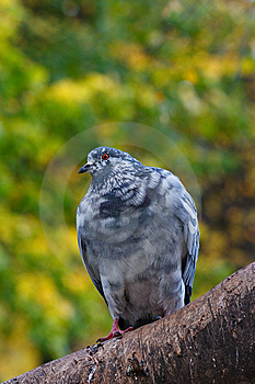 Pigeon On The Tree Stock Photo - Image: 14297080