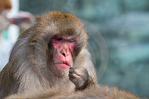 Monkey Royalty Free Stock Images - Image: 14297279