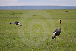 Amboseli Egyptian Cranes Royalty Free Stock Images - Image: 14298359