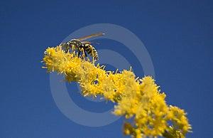 Wasp Stock Image - Image: 1432691