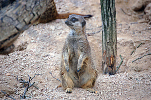 Meerkat Stock Images - Image: 1439484