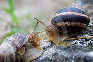 Snails In Love Royalty Free Stock Photo - Image: 14303455