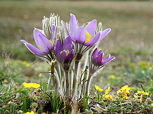 Pulsatilla Patens Royalty Free Stock Photography - Image: 14305167