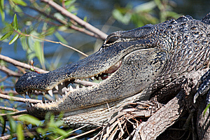 Alligator Royalty-vrije Stock Foto's - Beeld: 14306428
