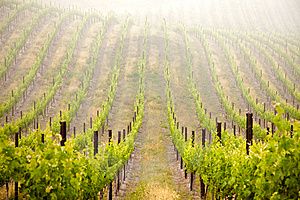 Beautiful Lush Grape Vineyard Royalty Free Stock Images - Image: 14312299