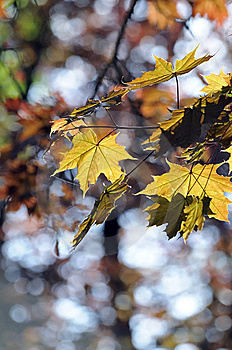 Leaves Of A Red Maple Stock Image - Image: 14316731