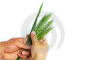 Wheat Ears In Hands Stock Image - Image: 14318071