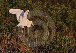 Great White Egret Egreta Alba Perching Royalty Free Stock Photo - Image: 14318835