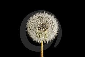 Dandelion Seed Head Clock Royalty Free Stock Photo - Image: 14318895