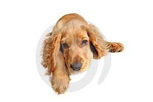 English Cocker Spaniel Royalty Free Stock Photos - Image: 14321048