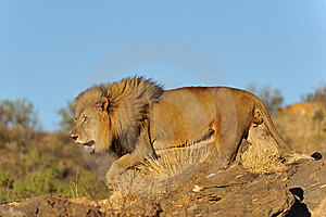 Namibia - Lion At Sunset Stock Images - Image: 14322314