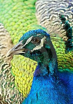 Peacock Stock Photos - Image: 14323533