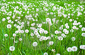 Field With White Fluffy Dandelions Royalty Free Stock Photo - Image: 14323745